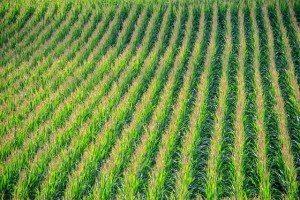 cornfield-902877_640