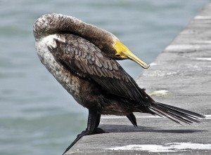 A cormorant enjoys some bird yoga.
