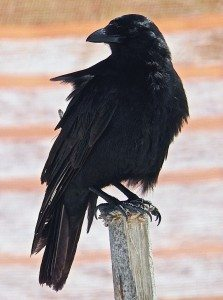 A fish crow is striking in black. (Photos by  Michael Givant)