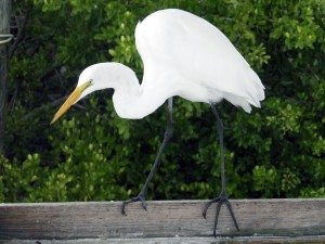 A great egret walks the balance beam.