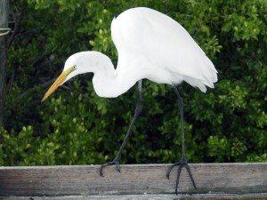 A great egret walks the balance beam.