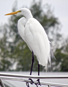 A great egret with breeding plumes
