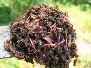 Earthworms can benefit  your garden in many ways.