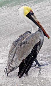 A breeding brown pelican strolls along the beach.