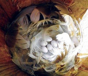 Feathers surround tree swallow eggs in a nest box.
