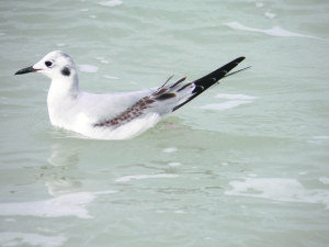 A Bonaparte's gull makes an uncommon appearance. (Photos by Michael Givant)